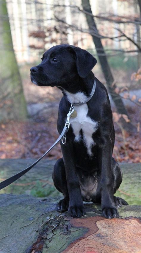 bench kelpie puppies sale 1000 images about boxer pointer mix love my mieka on