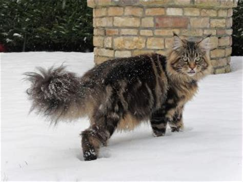 Cattery of Les Maine Coons de Brunelet   The Maine Coon