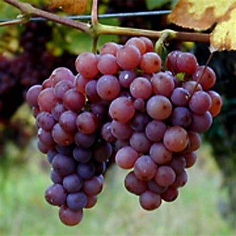 imagenes de uvas y frases beneficios y peligros del aceite de semilla de uva