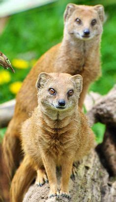 cobra  mongoose images mongoose wild animals animal pics