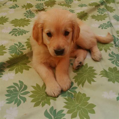 golden retriever puppy for sale uk golden retriever puppy for sale east pets4homes