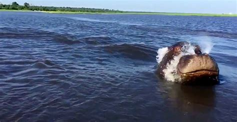 angry hippo chases tour boat angry hippo chases safari boat on chobe river the orms
