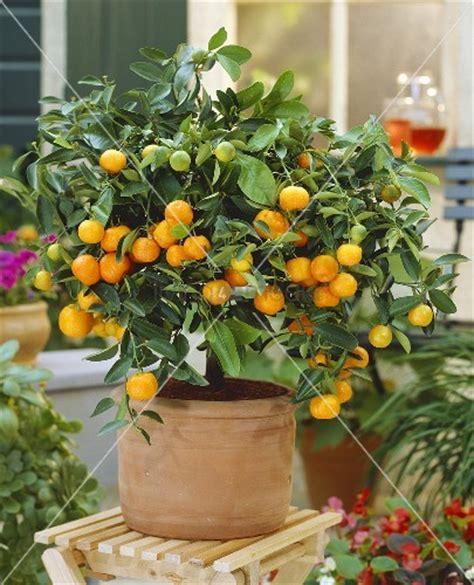 small orange tree small mandarin orange tree calamondine bild kaufen