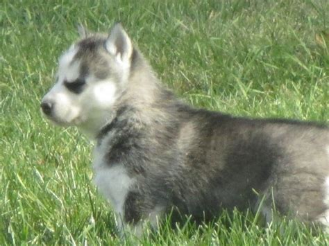free siberian husky puppies in michigan puppies ohio siberian husky puppies in michigan free husky puppies breeds picture