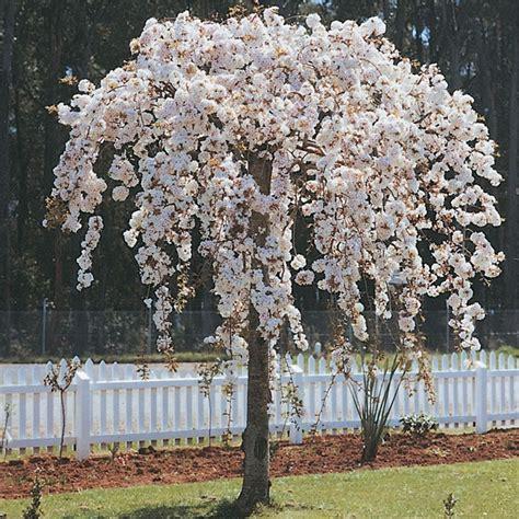 weeping cherry subhirtella alba   plants