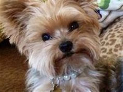 17 best images about gregory s blondie other yorkie s on 44 best images about gregory s blondie other yorkie s on