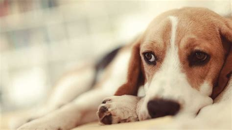 puppy flu flu spreading beyond florida