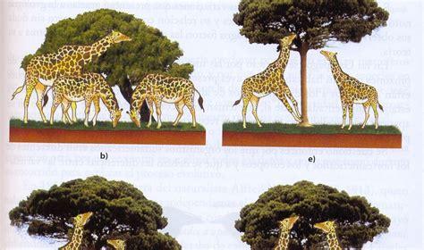 imagenes de las jirafas de darwin bioprofe4 la evoluci 243 n de las jirafas seg 250 n lamarck y darwin