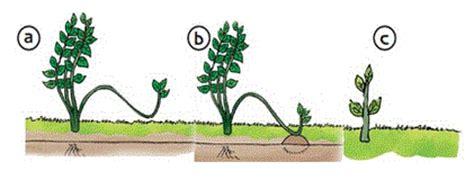 fiction world perkembangbiakan vegetatif buatan  tumbuhan