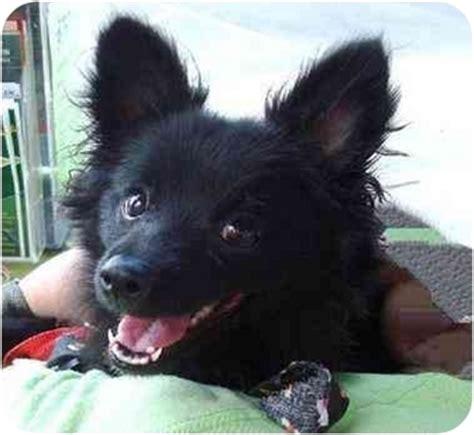 schipperke and pomeranian danny adopted puppy az pomeranian schipperke mix