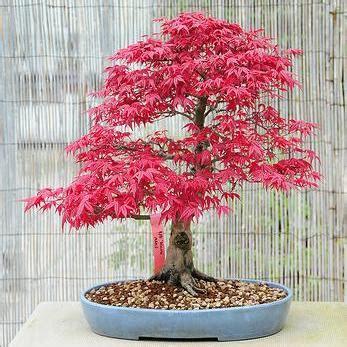 indoor bonsai kaufen seeds 5 bloodgood japanese maple acer palmatum