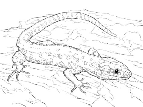 realistic lizard coloring pages skink coloring pages realistic coloring pages