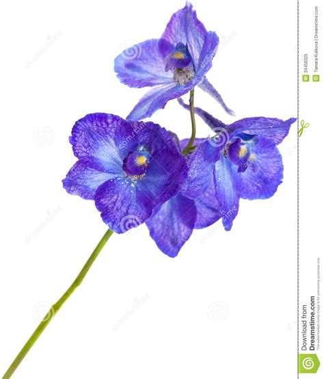 delphinium stock image image of life perennial contrast