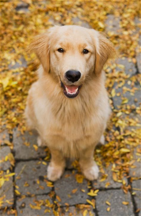1 year golden retriever one year golden retriever portrait stock photo 95443370 getty images