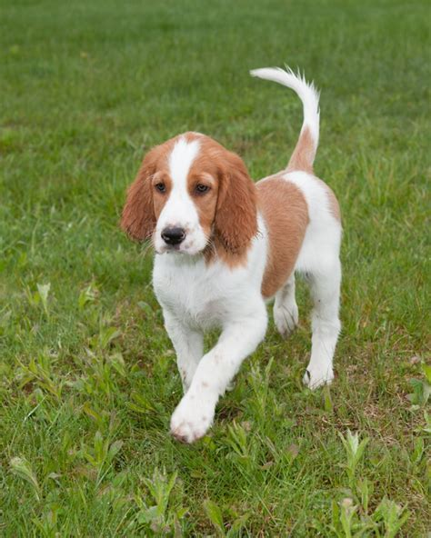 irish red and white setter dogs for sale irish red and white setter puppies www imgkid com the