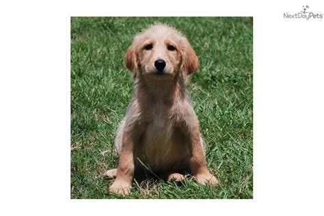 meet kate a labradoodle puppy for sale for