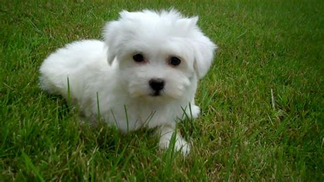 pictures of puppies stunning havanese puppies spalding lincolnshire pets4homes