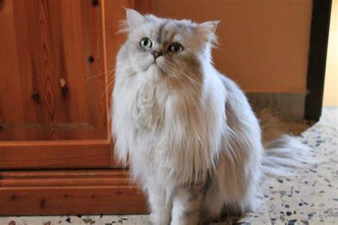 musetto testo gatto persiano con musetto dolcissimo petpassion