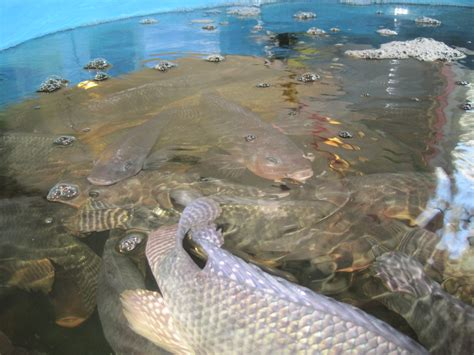 backyard fish farming tilapia backyard tilapia farming