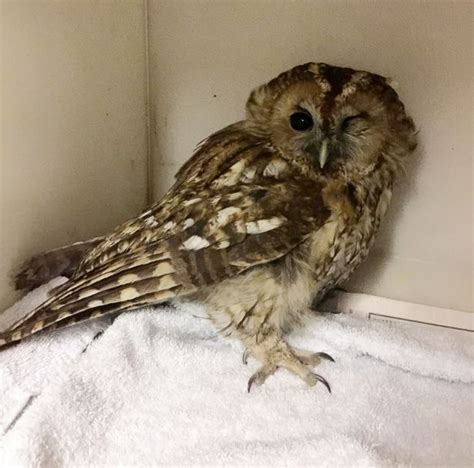Setelan Baby Pay Owl baby owl escapes with concussion after travelling 10 trapped on a roof rack mirror