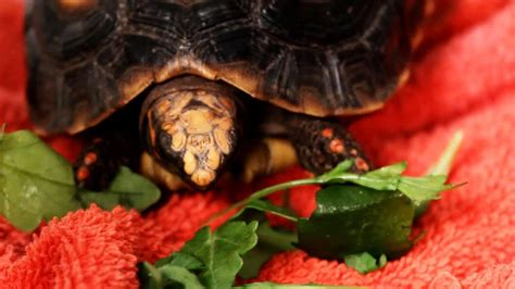 turtle wont eat pet turtles youtube