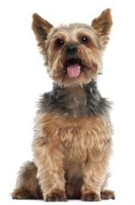 where can i buy teacup yorkies teacup yorkies for sale cost and prices