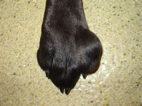 puppy swollen paw swollen between toes around nails or on top causes home remedies for