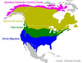 canada goose migration map