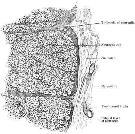 tranverse section transverse section of spinal cord clipart etc