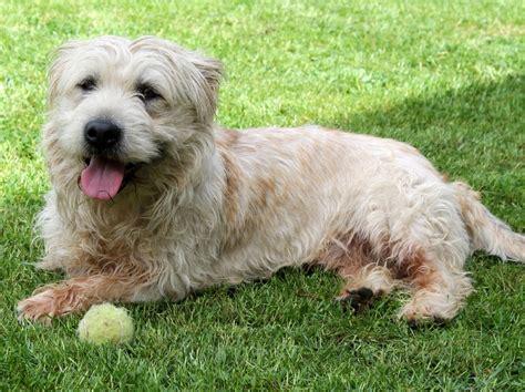 glen of imaal terrier puppies glen of imaal terrier newry county pets4homes