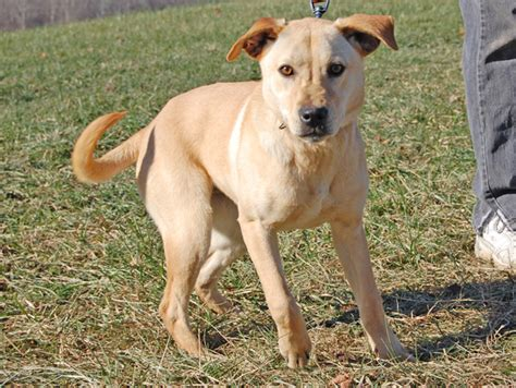 yellow lab mix puppies australian cattle yellow lab mix