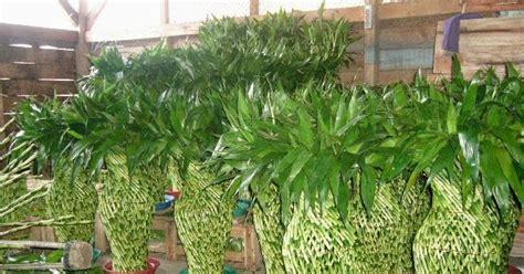 jenis tanaman uni  merawat bambu rejeki petani top