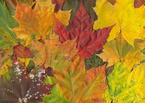 file maple leaf autumn jpg file maple leaves fall jpg