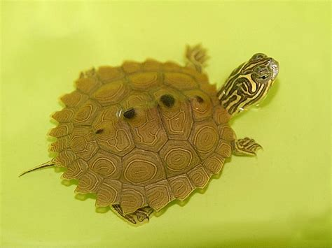 Black Knobbed Map Turtle For Sale by Northern Black Knobbed Map Turtle For Sale From The Turtle