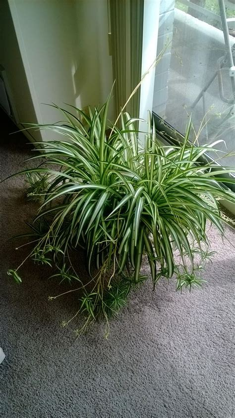 spider plant care for a spider plant spider plants airplanes and grasses