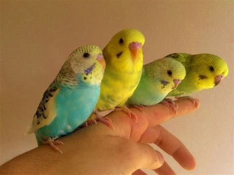 budgies for sale stockton on tees county durham