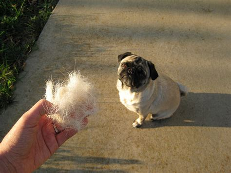 pug hair shedding features of pug puppies for sale