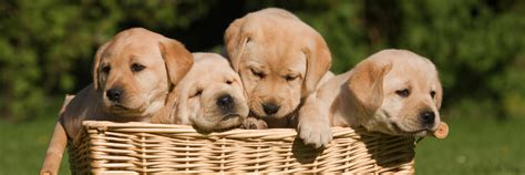 knoxville puppies canine puppy care knoxville veterinary clinic in knoxville ia