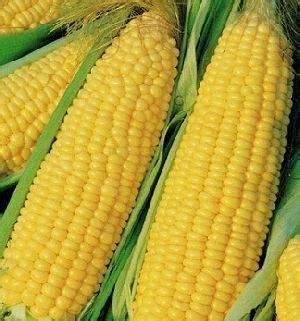 whole grain yellow corn usa yellow corn yellow corn from america manufacturers and