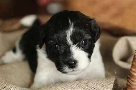 shih tzu calgary 17 best ideas about zuchon puppies for sale on teddy puppies teddy