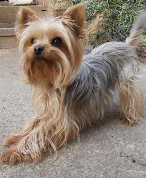 haircuts for silky terriers pinterest the world s catalog of ideas