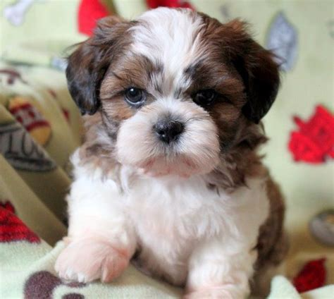 shichon difficult 1000 ideas about teddy bear puppies on pinterest bear