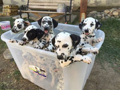 puppies for sale ta dalmatian sale singapore dalmatian puppies buy buy dalmatian breeders dalmatian
