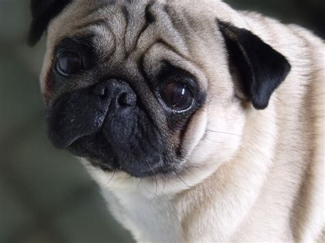 sorry pug image gallery sorry pug