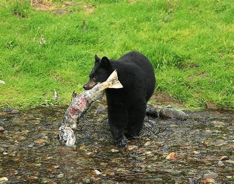 Fileblack Bear  Jpg
