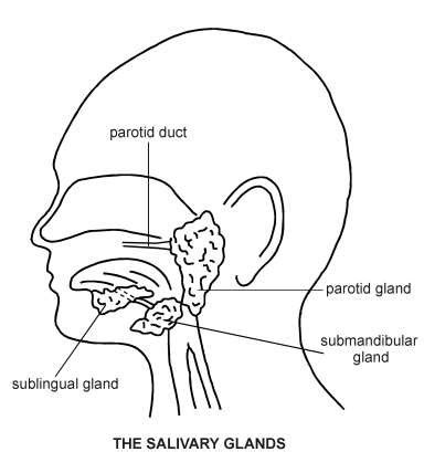 glands in the diagram salivary glands diagram patient
