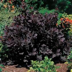 royal purple smoke bush garden backyard pinterest