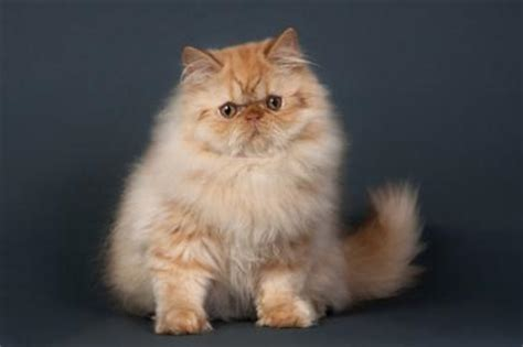 Persian Cats   LoveToKnow