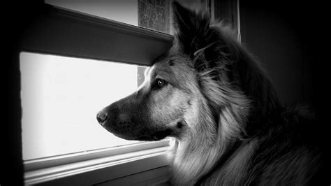 black and white dog wallpaper free black and white dog wallpaper phone 171 long wallpapers