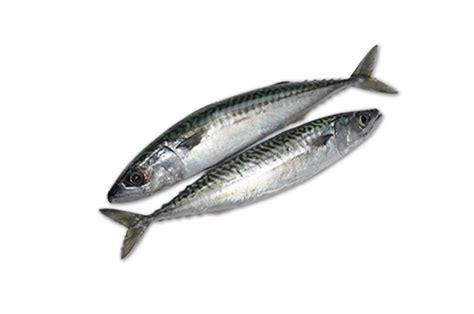 Sarden Mackerel Botan A1 2 mackerel from wing of st mawes cornish fish merchants